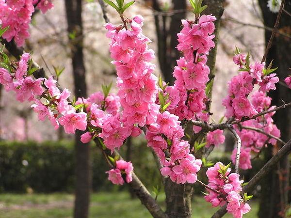還是櫻花.JPG