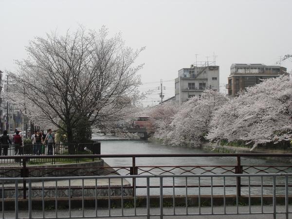 疏水道櫻花.JPG