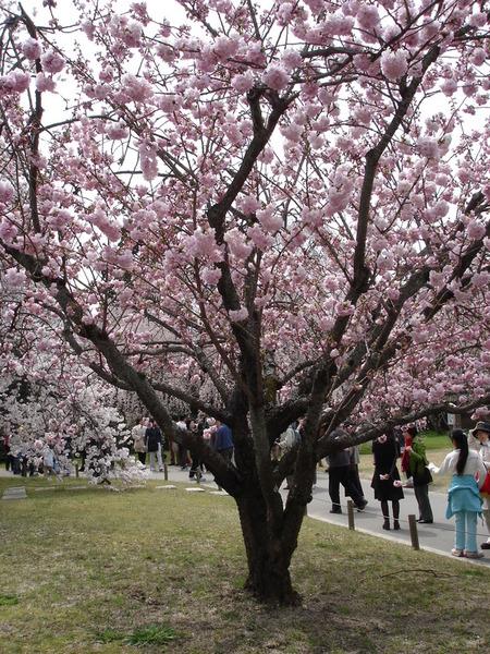 多瓣團狀的櫻.JPG