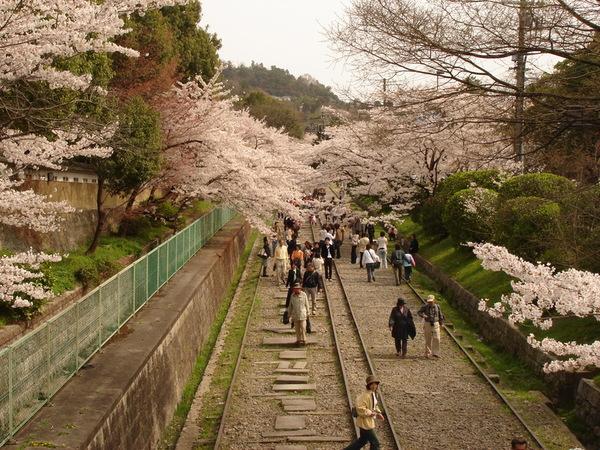 鐵道兩旁都是櫻花.JPG