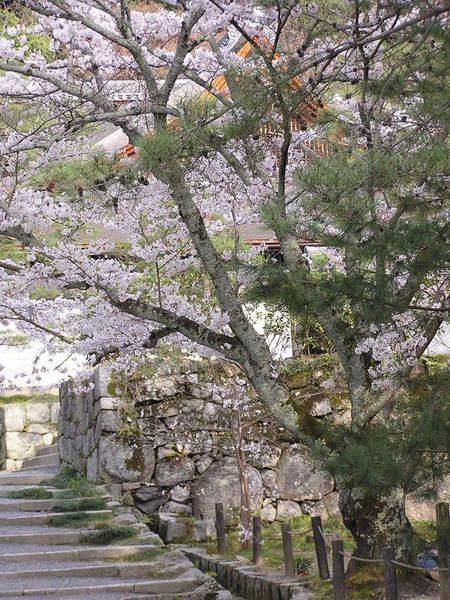 小徑櫻花.JPG