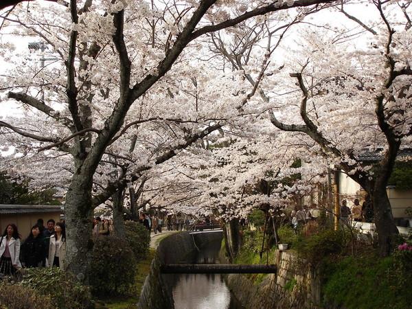 櫻花如白雪.JPG