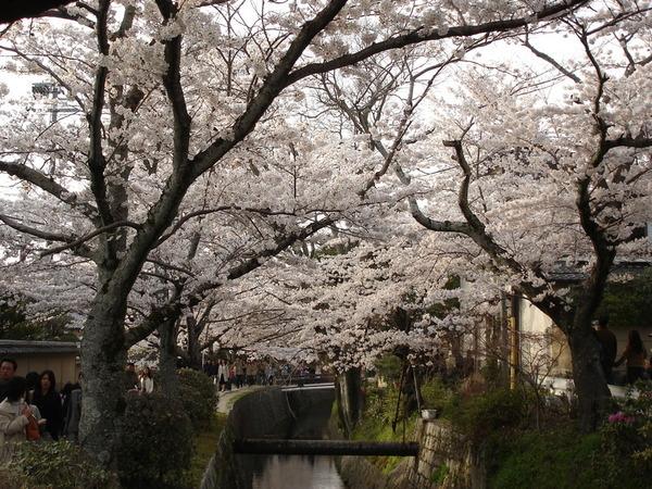 兩旁茂密的櫻花.JPG