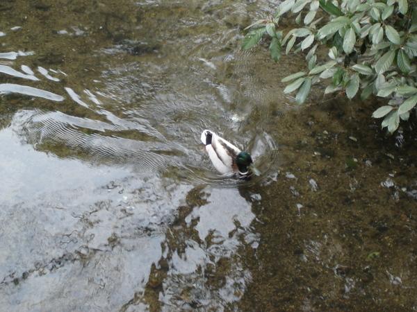河很清澈, 還有鴛鴦戲水.JPG