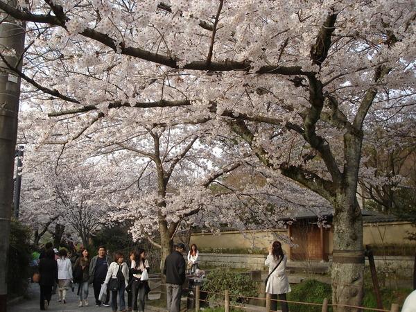 粉嫩的櫻花覆蓋整個天空.JPG