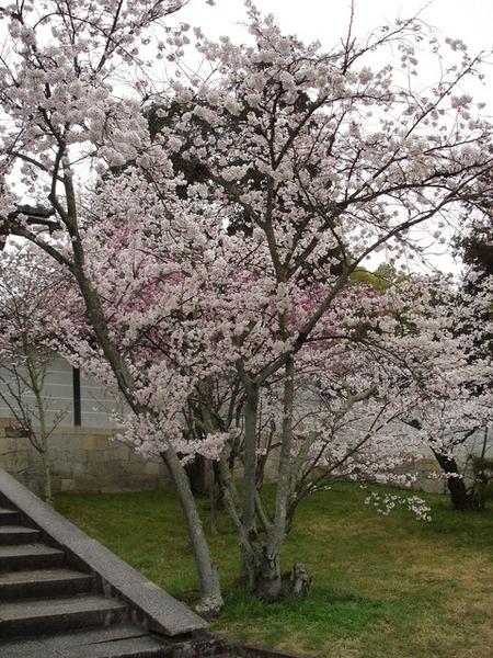 仁和寺 寺前的櫻花.JPG