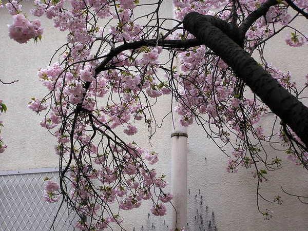 夕暮 夕陽照耀下更顯美麗的櫻花.JPG