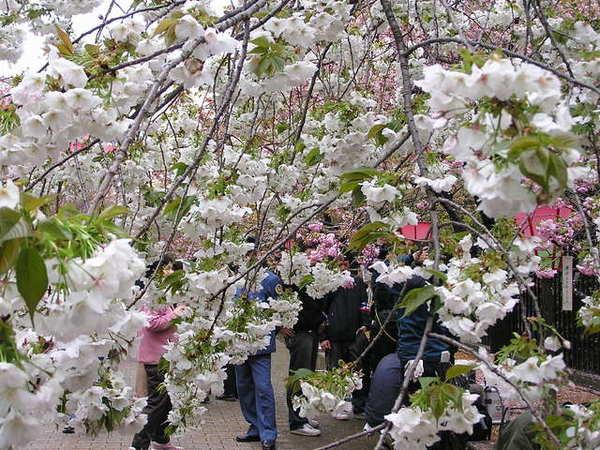 太白 由日本傳到英國的花 原本已經快沒有了近代才又從英國送給