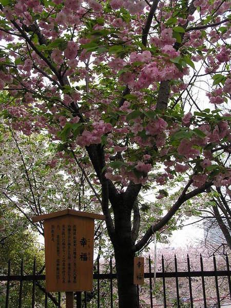 名為幸福的櫻花.JPG