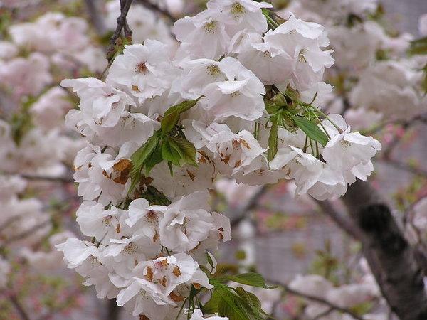 永源寺的櫻花.JPG