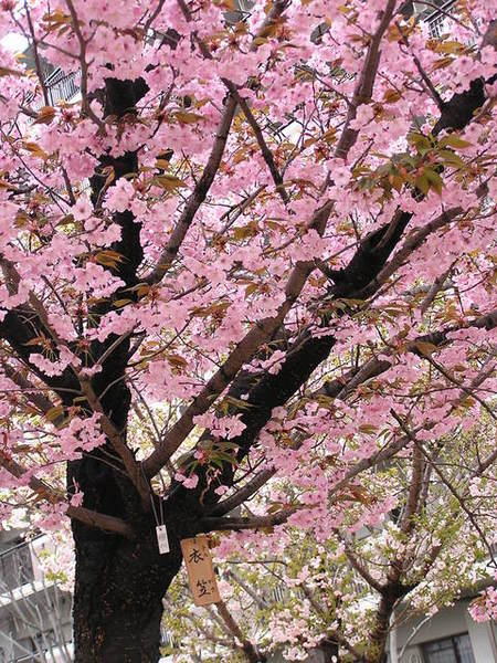 衣笠 粉紅的櫻花.JPG