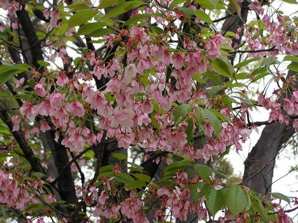 佐野櫻 昭和年代 蹉峨也有名的造景師佐野的樹園中所種植的櫻花