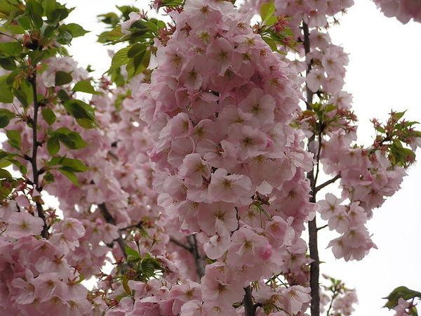 桐之谷  很茂密的花團.JPG