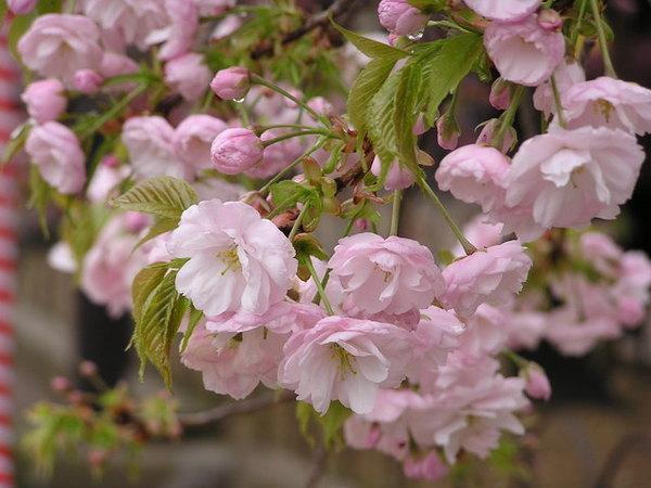 楊貴妃  多瓣的櫻花相當飽滿.JPG