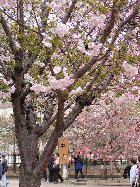 櫻花的品種就叫牡丹.JPG