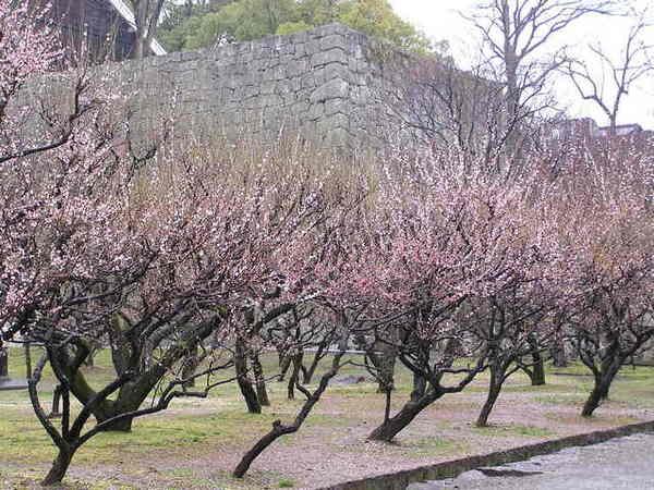 熊本城內的梅