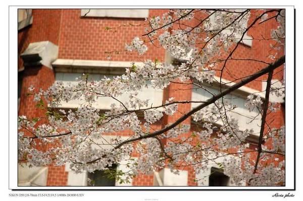 這四天中難得的美麗櫻花