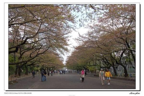 上野公園往美術館及動物園的櫻花大道,但是櫻花已經.....