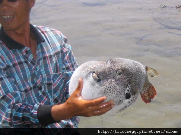 東海踏浪的河豚1