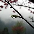 新芽上的雨滴