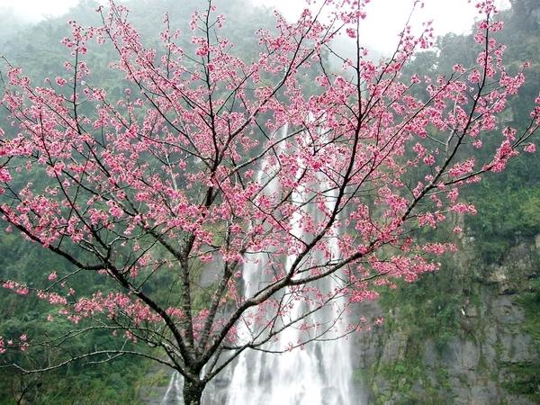 以烏來瀑布為背景的櫻花樹