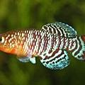 Nothobranchius Rachovii Beira.jpg