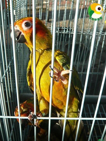 金太陽寵物鳥