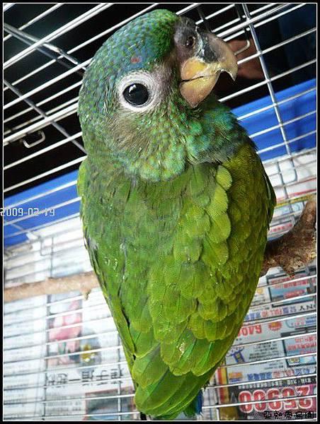 藍頭鸚鵡,活在自己的世界裡面
