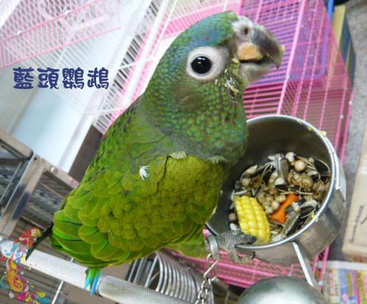 乖乖牌藍頭鸚鵡