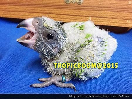 2015塞內幼鳥