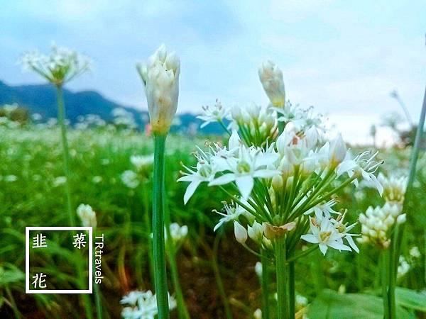 大鶯路韭菜花 (1).jpg