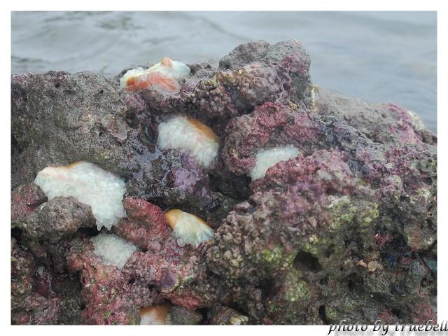 活著的珊瑚