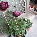 給自己的禮物:法國玫瑰