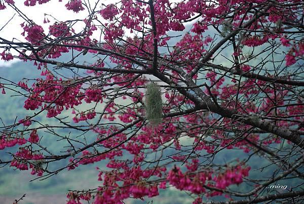 櫻花枝頭上的地衣