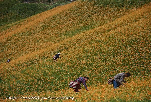 太麻金針山青山農場