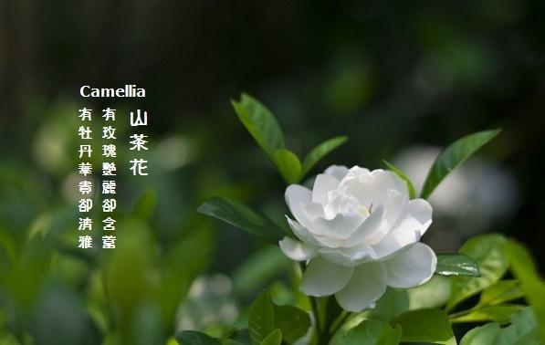 白色山茶1