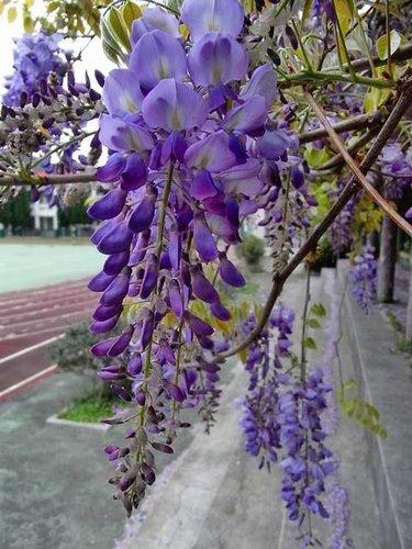 夢幻紫藤7.jpg