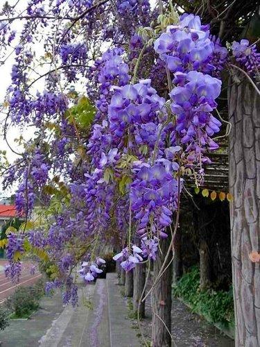 夢幻紫藤10.jpg