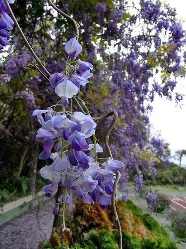 夢幻紫藤14.jpg