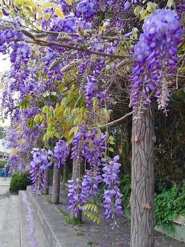 夢幻紫藤5.jpg
