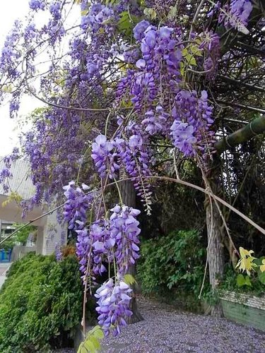 夢幻紫藤12.jpg