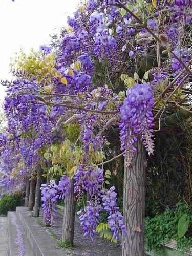 夢幻紫藤4.jpg
