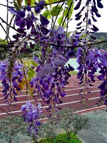 夢幻紫藤8.jpg