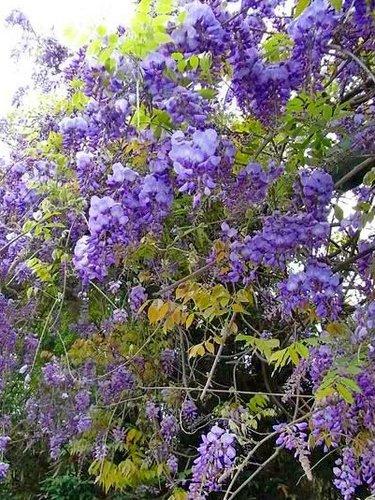 夢幻紫藤13.jpg