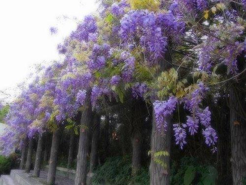 夢幻紫藤3.jpg
