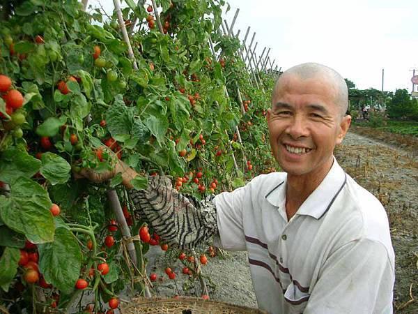 採收番茄的楊大哥