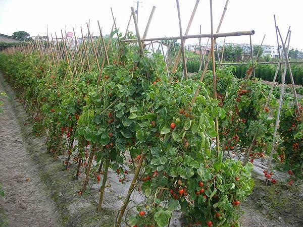 滿滿的番茄園