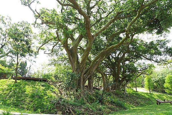 21百年巨木