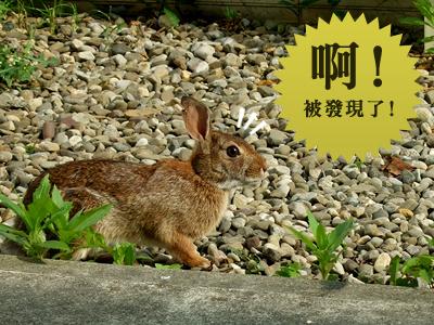 小野兔2.jpg