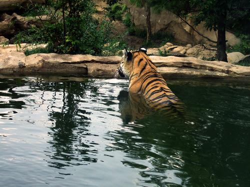 沈思中的老虎....吧。